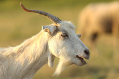 White male goat portrait Royalty Free Stock Photography