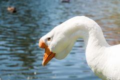 White male goose near river in summer. Portrait of white male goose with bright orange beak near river in summer Stock Photography