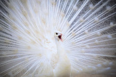 White male indian peacock with beautiful fan tail plumage feathe Royalty Free Stock Images