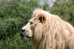 White male lion Royalty Free Stock Photo
