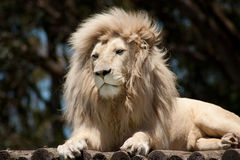 White male lion resting on a wooden platform Stock Photography