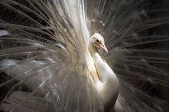White male peacock. A peacock show it`s tail to attract female Royalty Free Stock Photos