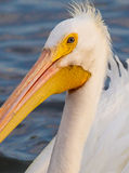 White male pelican close up Royalty Free Stock Photography