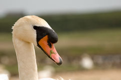White male swan. Called a cob, at swannery in Abbotsbury, Dorset, England Stock Images