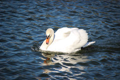 White male swan. Sunny day and blue water Royalty Free Stock Photography