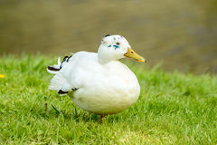 White mallard (Anas platyrhynchos) Stock Photography