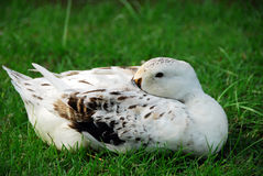 White Mallard Drake Duck on grass. Isolated shot of white Mallard Drake Duck resting on grass Royalty Free Stock Photo