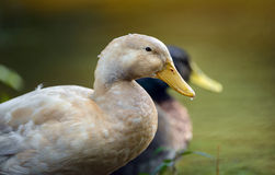 White Mallard Duck Stock Image