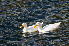 White Mallards. Stock Photos
