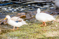 White mallards. Pair of rare, wild white mallards, Anas platyrhynchos, at riverbank. These are not albinos but rather a likely cross breed with the domestic duck Stock Photos