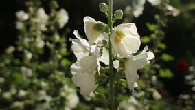 White mallow flower in the garden. Malva in the wind close up stock video footage