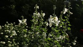 White mallow flower in the garden. Malva in the wind close up stock footage