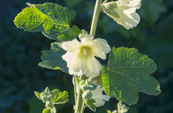 White mallow flower Stock Photo