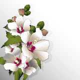 White mallow flowers Stock Photos