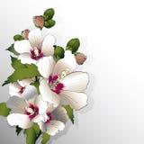 White mallow flowers Stock Photos