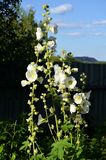 White mallow flowers on summer cottage in summer day. White mallow flowers on the cottage Stock Photography