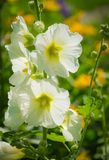 White mallow in the garden close-up. White mallow in the garden close-up on a blurred background Stock Images