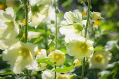 White mallow in the garden close-up. White mallow in the garden close-up on a blurred background Royalty Free Stock Photography