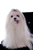 White Maltese on Black Chair Royalty Free Stock Photo
