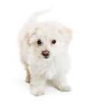 White Maltese Crossbreed Puppy Over White Royalty Free Stock Photo