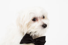 White Maltese dog. With black bow and on white background Royalty Free Stock Images