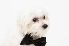 White Maltese dog Royalty Free Stock Images