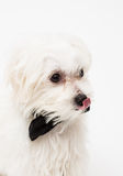 White Maltese dog. With black bow and on white background Royalty Free Stock Photos