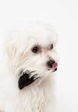 White Maltese dog Royalty Free Stock Photos