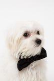 White Maltese dog Stock Photo