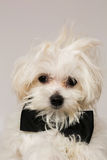 White Maltese dog. With black bow and on white background Stock Photos