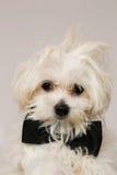 White Maltese dog Stock Photos