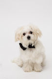 White Maltese dog. With black bow and on white background Royalty Free Stock Image