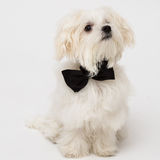 White Maltese dog. With black bow and on white background Stock Photography