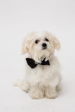 White Maltese dog. With black bow and on white background Stock Photo