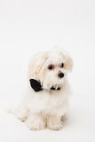 White Maltese dog. With black bow and on white background Royalty Free Stock Photo