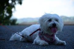 White maltese dog. White dog. Cane maltese sulle colline piemontesi Royalty Free Stock Image