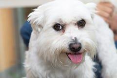 The white Maltese dog Royalty Free Stock Photos