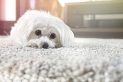 White maltese dog lies on carpet Stock Image