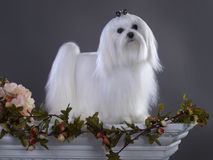 White Maltese dog. White Maltese  Looking in Camera Stock Photography