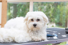 White Maltese dog is lying on the grooming table Royalty Free Stock Images