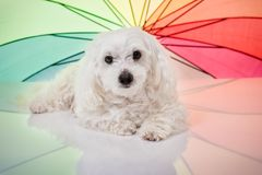 White Maltese Dog Lying and Looking in Camera Stock Image