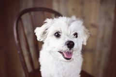 White Maltese dog posed on a wood background, cute friendly pet. Great family dog, small toy breed Stock Image