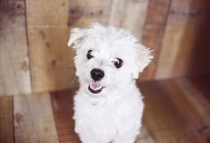 White Maltese dog posed on a wood background, cute friendly pet. Great family dog, small toy breed Royalty Free Stock Images