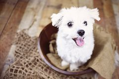 White Maltese dog posed on a wood background, cute friendly pet. Great family dog, small toy breed Royalty Free Stock Photo