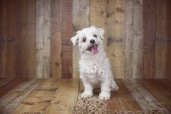 White Maltese dog posed on a wood background, cute friendly pet. Great family dog, small toy breed Royalty Free Stock Photography