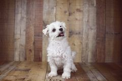 White Maltese dog posed on a wood background, cute friendly pet. Great family dog, small toy breed Royalty Free Stock Photos