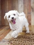 White Maltese dog posed on a wood background, cute friendly pet. Great family dog, small toy breed Stock Photography