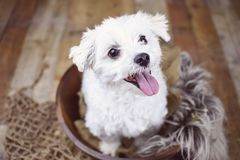 White Maltese dog posed on a wood background, cute friendly pet. Great family dog, small toy breed Stock Photos