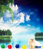 White maltese dog posing by water. White Maltese dog posing at tropical setting in floaty with smily face beach balls Royalty Free Stock Images