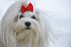 White maltese dog with a red bow.  Royalty Free Stock Photography